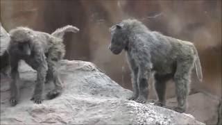 2016年4月撮影。広島県安佐動物公園のヒヒ山の風景です。喧嘩をしている...