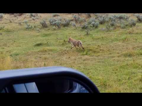 Coyote crossing road in Yellowstone