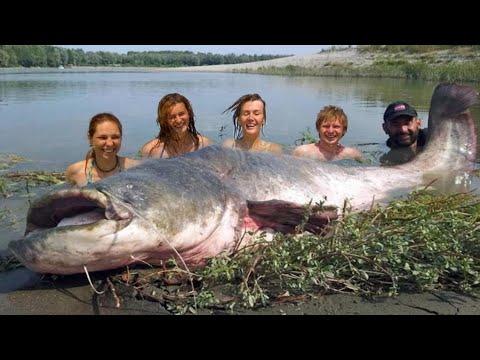 Mammoth Record Catfish 265 Pound Hd By Yuri Grisendi