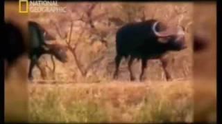 ataque de leones y cocodrilo a cria de bufalo... en español