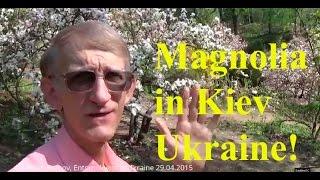 Magnolia at Kyiv University Botanic Garden, Kiev Ukraine