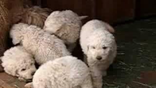 Komondor Puppies