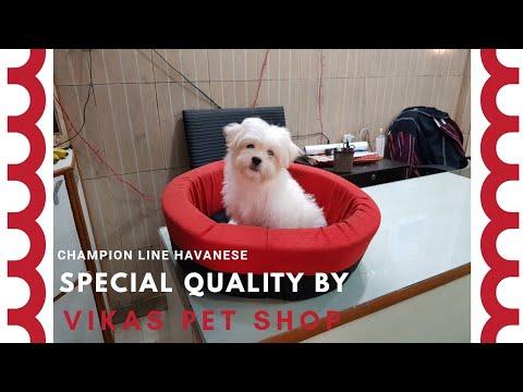 CHAMPION LINE Havanese Puppy #VikasPetShop