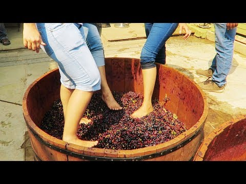 Grapes Stomping Sula Vineyards Nasik