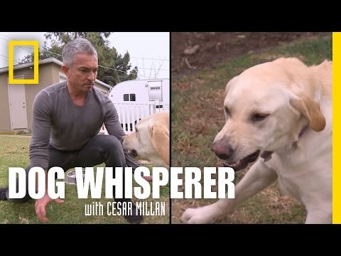 Showdown with Holly   Dog Whisperer