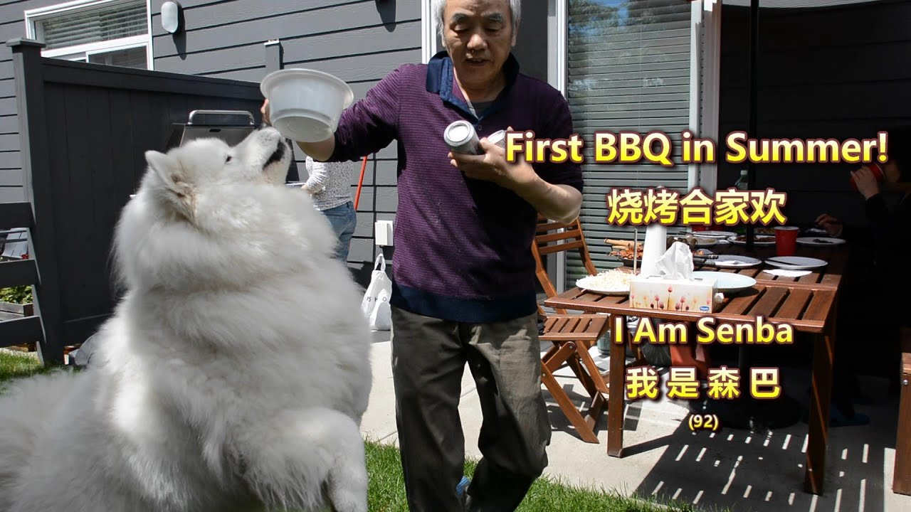 BBQ time! Senba the Samoyed got excited   Lamb skewers   first BBQ in summer!