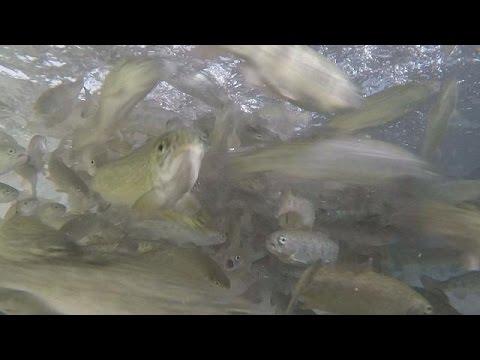 Acquacultura la nuova dieta 39 vegetariana 39 dei pesci d for Allevamento pesci