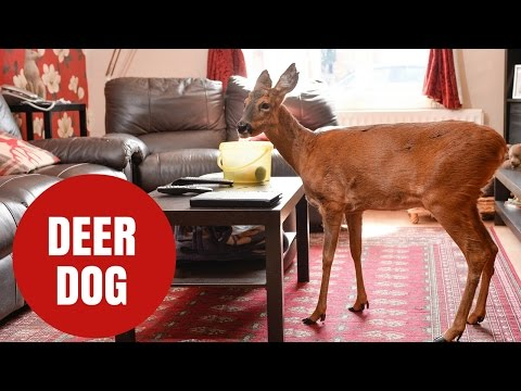 Meet the adorable deer that clearly thinks it's a dog