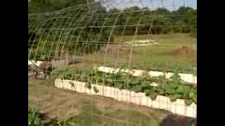 Cucumber Trellis   June 19, 2013