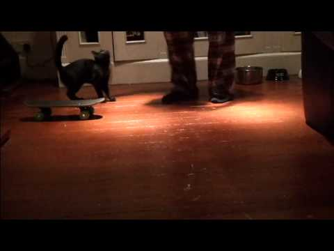 Cat Trick Training – Stage 2 of sit, Roll over hand gestures, more skateboard