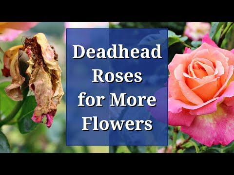 Deadhead Roses for More Flowers