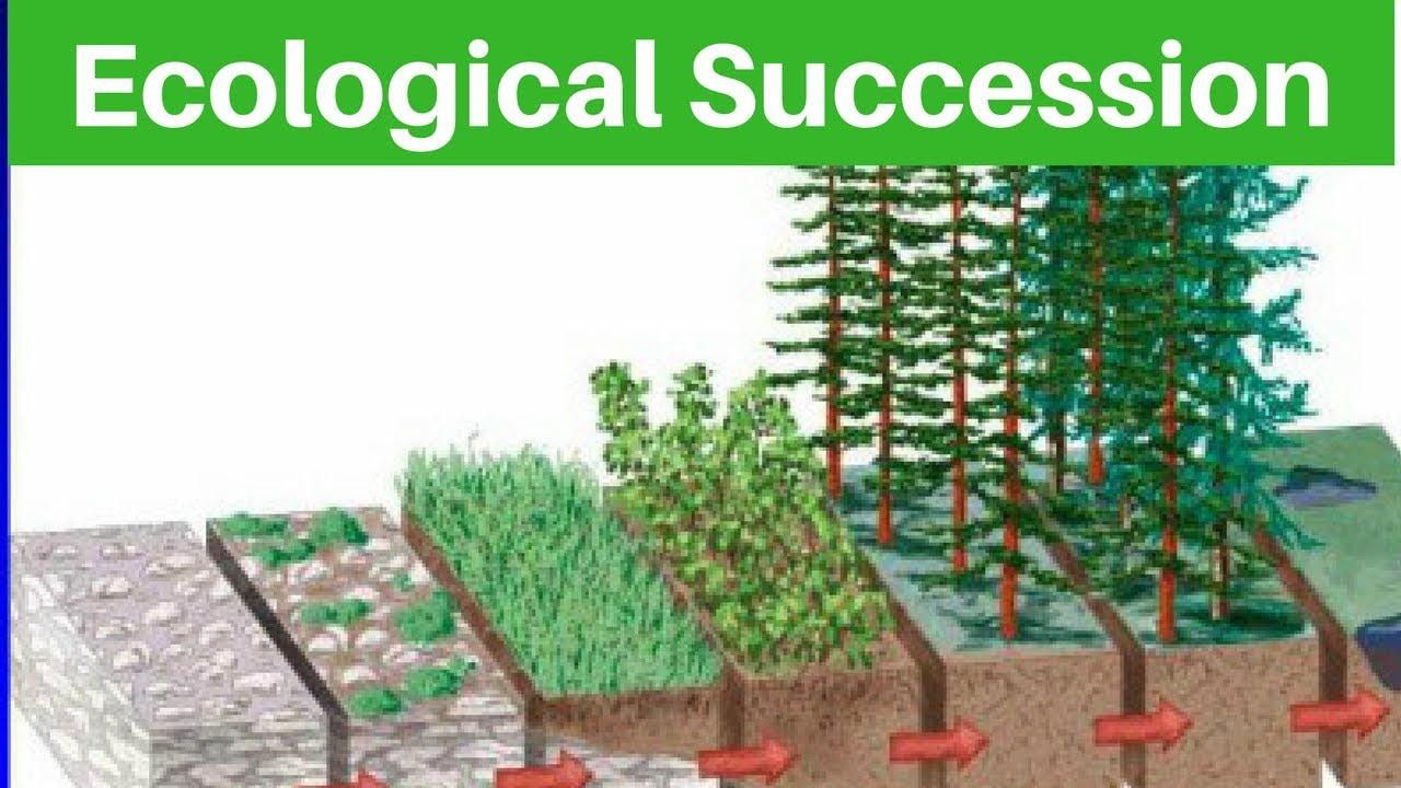 environment  u0026 ecology - ecological succession