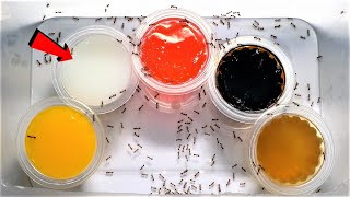 Which of these FIVE FLAVOURS will FIRE ANTS love most? | Fire Ant Taste Test
