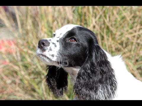 English Cocker Spaniel Field Retrieving Foundation Work