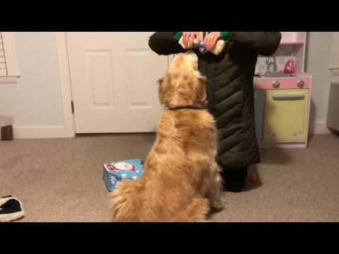 Ragdoll kitten takes on the Golden Retriever tail Part II