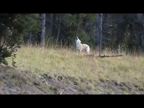 Howling coyotes in Yellowstone