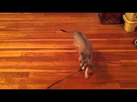 Lily Fetches a Cat Wand Pt. 1! - Singapura Kitten Fetching! (Smallest Cat Breed in the World)