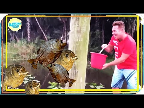 Feeding Piranhas  Live Compilation 2017 -piranhas Fishing