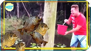 feeding piranhas  live compilation 2017 -piranhas fishing