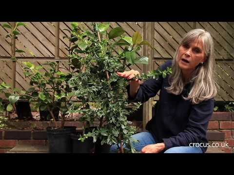 Evergreen Shrubs For Training Against Wall & Fences