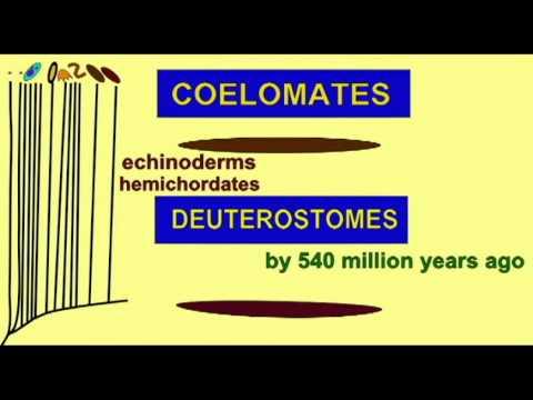 CLADOGRAM--7 DEUTEROSTOMES