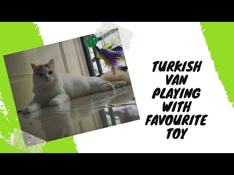 Turkish van and his cat toy wand
