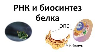 5. РНК и синтез белка (9 или 10-11 класс) - биология, подготовка к ЕГЭ и ОГЭ 2018