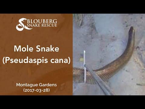 Huge Mole Snake near Montague Gardens, Cape Town, Western Cape, South Africa (20170328)