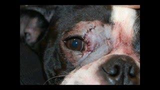 Удаление гистиоцитомы в области век  у собаки