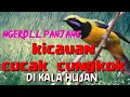Roll Tembak Cucak Cungko Istimewa Suara Kasar Dan Rapat  Mp3 - Mp4 Download