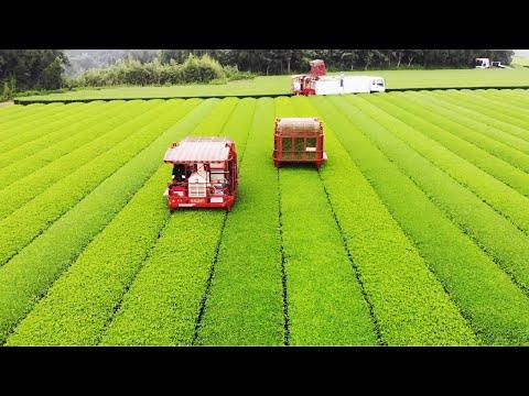 Japanese Green Tea Cultivation - Green Tea Farm - Green Tea Harvest And Processing