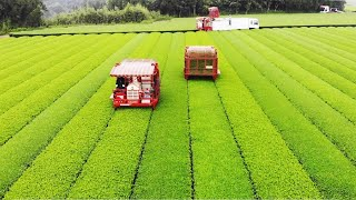 Japanese Green Tea Cultivation - Green Tea Farm - Green Tea Harvest and Processing