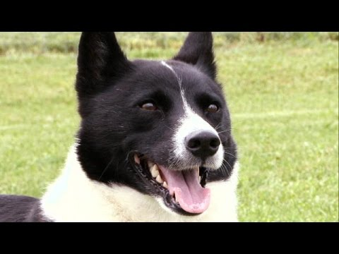 Karelian Bear Dog - Dog Breed