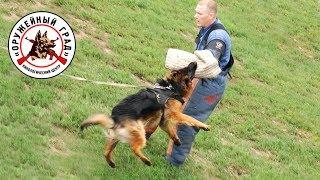 Дрессировка собак. Немецкая овчарка на ЗКС.