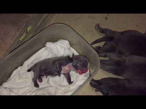 Thành Sơn Bully / Cách chăm sóc chó con từ khi mới đẻ