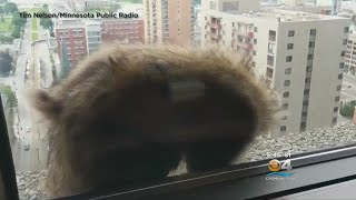Raccoon Released After Scaling 25-Story Skyscraper