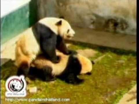 panda porno filmy