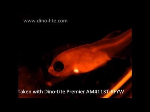Video using various Dino-Lite fluorescence microscopes