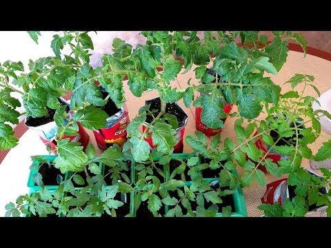 Рассада томатов.Синеют листья, что делать? Как нарастить корневую?Зачем так рано?