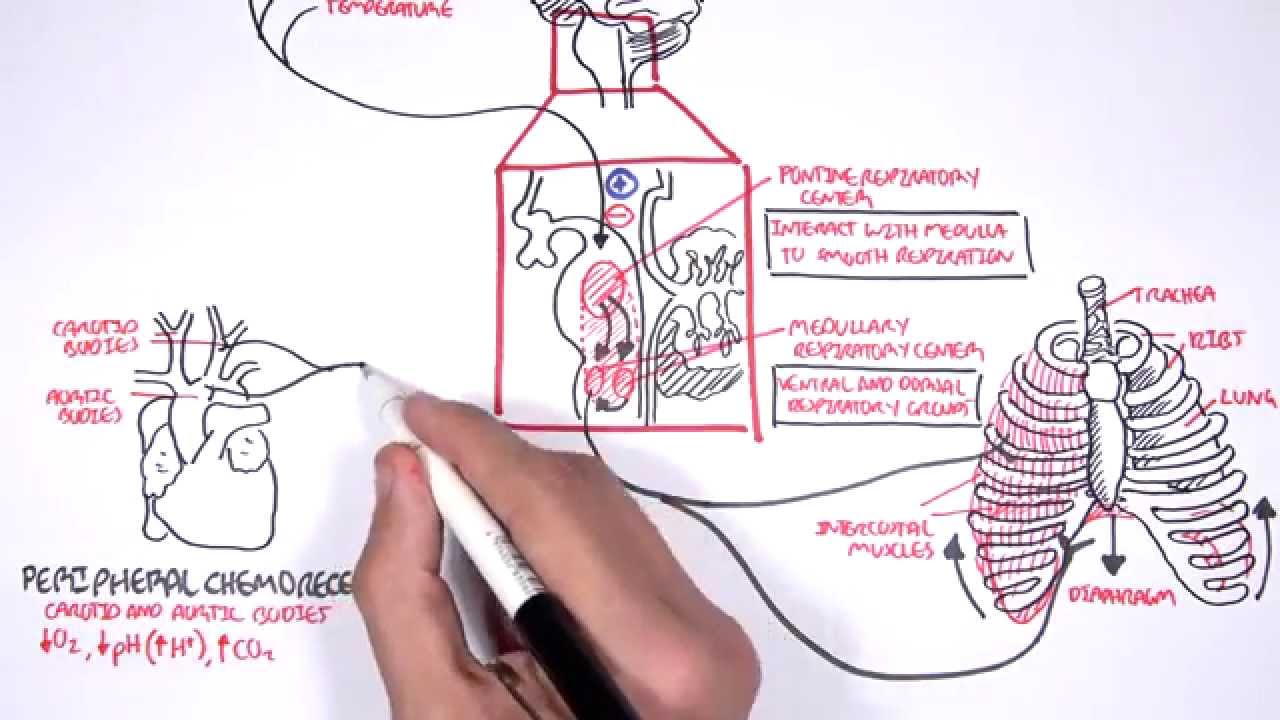 Control Of Respiration - YouTube