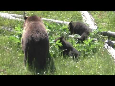 Grizzly Bear and cubs in Yellowstone National Park video: