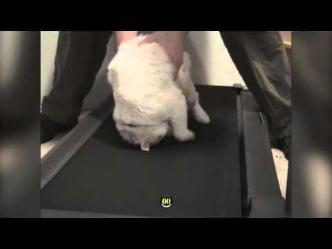 Lazy Cat On Treadmill || HiCat Funny – Fitness Fail