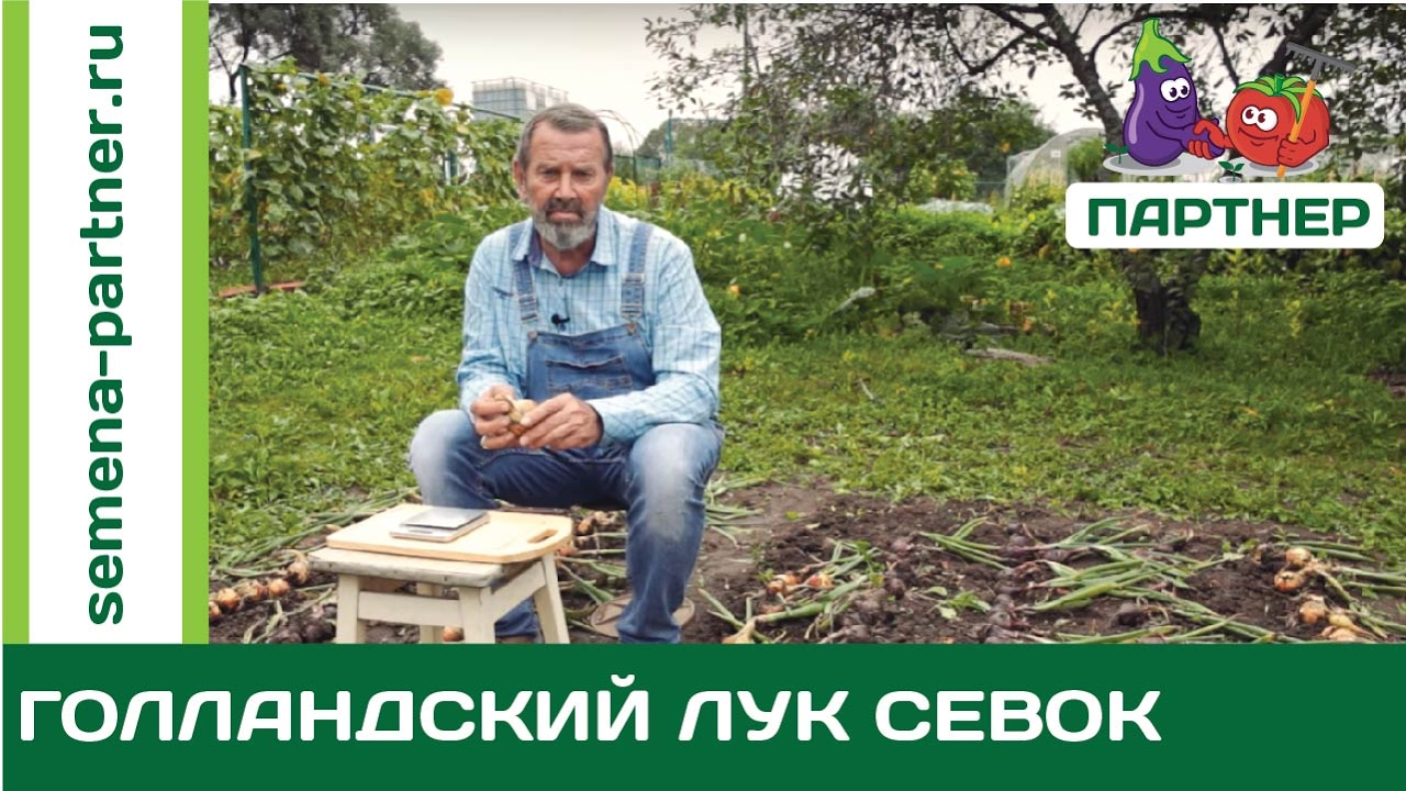 Лук севок - подготовка лука севка к посадке дома (на зелень) - YouTube
