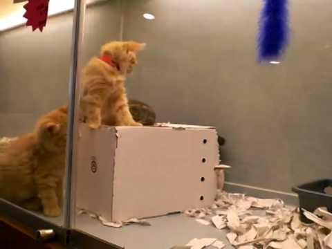 Amazing Manx cats