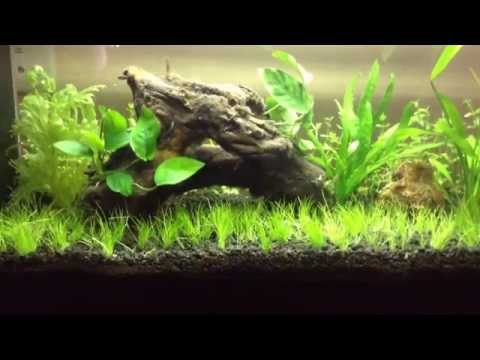 Aquascaping for beginners: Dwarf Hairgrass