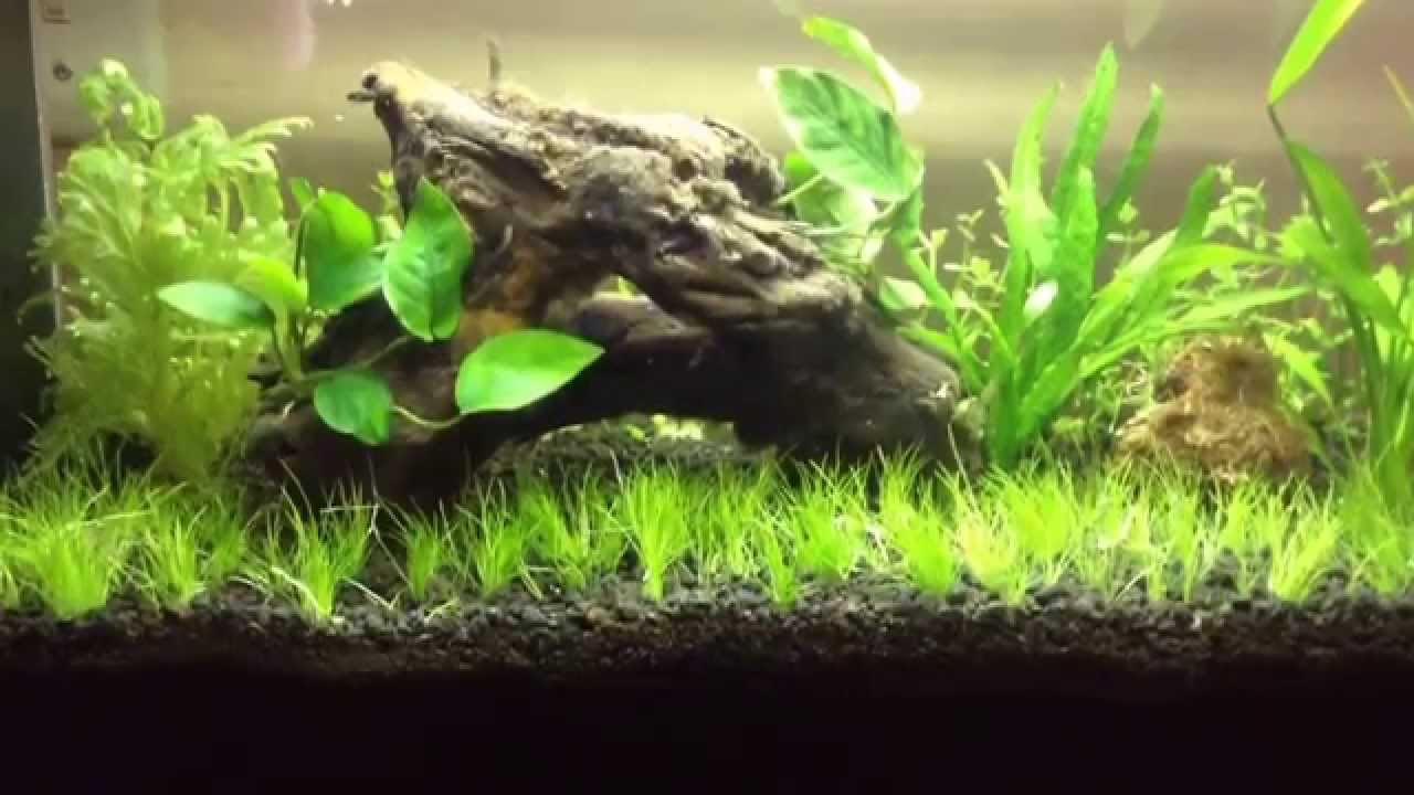 Great Aquascaping For Beginners: Dwarf Hairgrass   YouTube