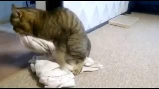 Кот хочет секса