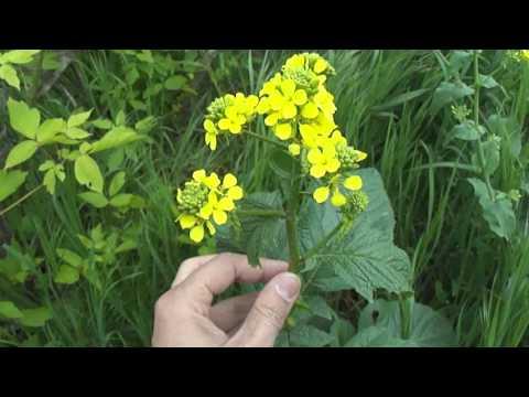 Съедобные растения. Горчица полевая / Sinapis arvensis