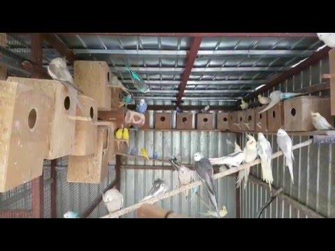 Parrot breeder Nelutu Rosu 2016