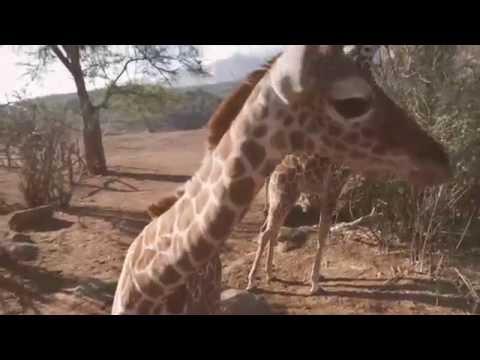 San Diego Zoo Kids - Giraffe Calves thumbnail